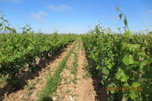 Plants de vigne d'une exploitation biodynamique de l'île. On voit que le sol est très épais, peu travaillé, avec les mauvaises herbes qui sont laissées dans les inter-rangs.